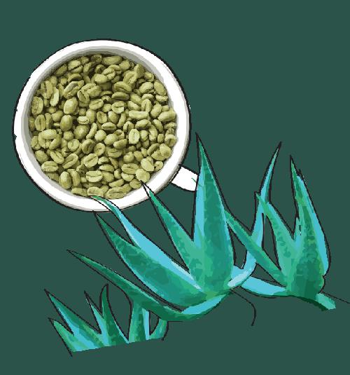 A Yellow Style termékek fő összetevői a zöld kávé és az Aloetrix